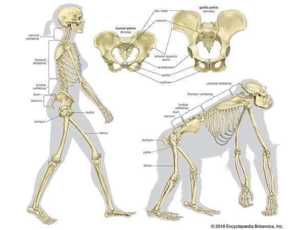 Bipedestación e evolución pelvis femenina